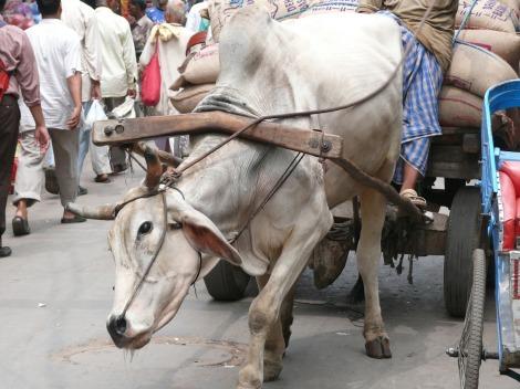 cow-77814